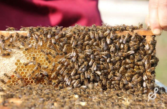 Die Bienenkönigin von Gosau